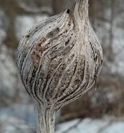 Les larves Eurosta solidaginis passent l'hiver à l'intérieur de galles au sein d'une plante. Elles sont parmi les championnes du règne animal en ce qui concerne la résistance au froid, produisant une forme de gras capable de rester liquide jusqu'à -80 °C. (Crédit photo : Université de Western Ontario)