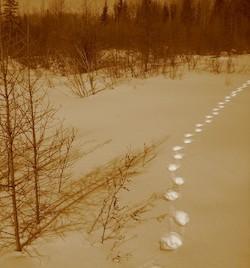 Les empreintes laissées par un lynx du Canada. Une nouvelle étude montre qu'il est possible de déterminer la population d'une espèce animale seulement en comptant le nombre de pistes laissées par ces animaux dans un territoire donné. (Photo credit: Derek Keeping)