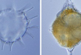 Left:The ancient plankton Dapsilidinium pastielsii, previously thought to be extinct, hatched from hard-shelled cysts like this one, which is 45 mictometres across, about the size of a speck of dust. Right: the swimming plankton that hatched from the cyst in the lab. (Photo credit: Mertens et al., 2014)