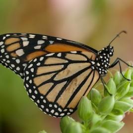 Une nouvelle étude montre que le déclin des asclépiades, des plantes dont le nectar nourrit de nombreux papillons et insectes, aux États-Unis et au Canada serait un facteur crucial dans le déclin de la population de papillons monarques. (Crédit: William Warby, via