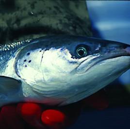 Le saumon atlantique est un des poissons les plus pêchés au monde. (Crédit: U.S. Fish and Wildlife Service, via flickr)
