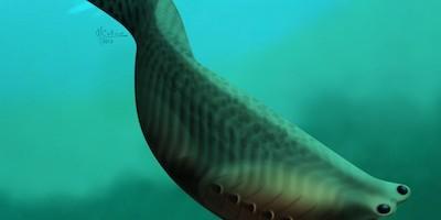 Vue d'artiste d'un poisson primitif, Metaspriggina walcottii, qui a vécu il y a 500 millions d'années. Une analyse de nouveaux fossiles bien conservés révèle que ces espèces seraient les premières à avoir des structures ressemblant à une mâchoire. (Crédit: Marianne Collins)