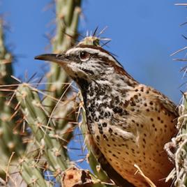 Le troglodyte des cactus, une espèce du sud-ouest des États-Unis, est l'un des oiseaux qui pratiquent la reproduction coopérative. Une nouvelle recherche montre que ces oiseaux en particulier ont de meilleures chances de survie année après année. (Crédit: Linda Tanner, via flickr.com)