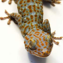 A team of researchers shown that the electrical charges exchanged between the feet of Tokay geckoes like this one and various surfaces is the main driver behind its ability to walk on vertical surfaces, or even upside down. (Photo credit: Hadi Izadi)