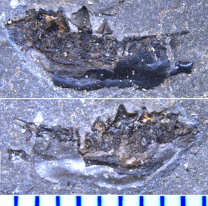 Teeth (above and middle) and side view of lower jaw (below) of Heptodon, an ancient cousin to tapirs, found in early Eocene (52 million-year-old) rocks of northern British Columbia. This extinct mammal was about half the size of today's tapirs. (Image by Jaelyn Eberle and coauthors.)