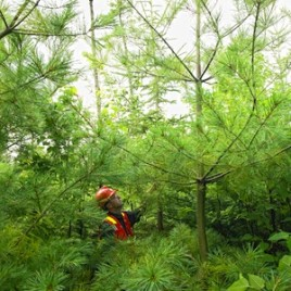 These eastern pine trees from New Brunswick contain a beneficial fungus that produces a compound to keep other fungi away. Surprisingly, the same strain of fungus is also found in the lowbush blueberry, a plant that shares the same Acadian forest habitat. (Photo credit: J. D. Irving Ltd.)