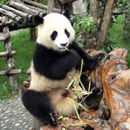 Un panda géant vivant en captivité en Chine. (Crédit: David Schroeter, flickr.com)