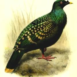 Une nouvelle analyse génétique du seul spécimen connu de pigeon vert tacheté (Columba maculata) montre que cette espèce est bien distincte des autres espèces de pigeon, et qu'il un cousin du dodo, lui aussi disparu. (Crédit: Joseph Smit, World Museum)
