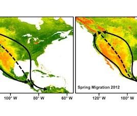Les lignes noires pleines montrent les voies migratoires de deux populations de grive à dos olive. Les lignes pointillées montrent le trajet emprunté par oiseaux hybdrides des deux espèces, un trajet plus difficile avec moins d'insectes, moins de végétation et moins d'eau. (Crédit: Kira Delmore)