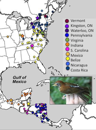 Des chercheurs ont attaché de petits sacs à dos sur des grives des bois pendant leur migration et ont observé que celles migrant le plus au nord pendant l'été sont les mêmes qui descendent le plus au sud pendant l'hiver. (Crédit: Emily McKinnon)