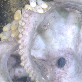 Deep-sea octopus protecting her eggs. (Photo credit: Robison et al.)
