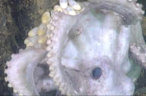Une pieuvre vivant dans les grandes profondeurs de l'océan Pacifique protège ses oeufs. (Crédit: Robison et al.)