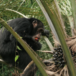 Un chimpanzé mange un fruit d'un palmier à huile. (Crédit: Henry Camara-Bossou)