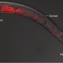 This image depicts an instance of cross-species breeding gone awry. Fluorescence microscopy reveals sperm, in red, invading a female worm's body. (Photo credit: Gavin Woodruff)