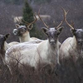Des caribous du troupeau de la Rivière-aux-Feuilles. (Crédit: Joëlle Taillon)