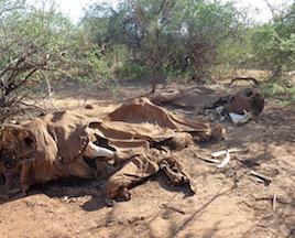 Deux carcasses d'éléphants adultes une à côté de l'autre. Des carcasses regroupées sont des indices que des braconniers ont tué ces éléphants. (Photo: Chris Leadisimo)