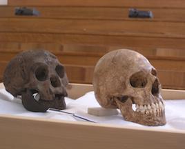 Comparaison entre le moule d'un crâne de l'homme de florès et un crâne d'une petite boîte crânienne. (Crédit: