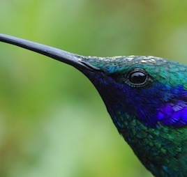 A new study of fights between birds, including hummingbirds like this sparkling violetear, shows how smaller birds can evolve the ability to win fights against larger ones. (Photo credit: Queen's University)