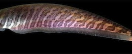 By studying the electrical pulses emitted by this banded knifefish (Gymnotus carapo) scientists hope to gain insight into what's going on in the brain when making voluntary decisions. (Photo credit: Tiago P. Carvalho)