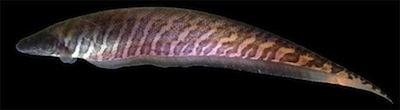 Le poisson-couteau (Gymnotus carapo) vit en Amérique centrale et en Amérique du Sud. Il est capable d'émettre des impulsions électriques afin de communiquer avec ses semblables. (Photo credit: Tiago P. Carvalho)