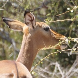 In areas where predators keep down populations of herbivores like impala, acacia trees flourish. A lack of predators forces trees to rely on other forms of defense, like thorns. A new study underlines how human impact on carnivores like wild dogs could alter the African landscape (Photo credit: Adam T. Ford)