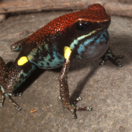 Poisonous frogs like this Ecuador poison frog (Ameerega bilinguis) are free to evolve louder and more diverse mating calls than non-poisonous species. (Photo credit: Santos et al.)