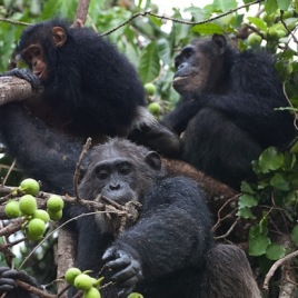 An adult female chimpanzee (top, right) and 2-year-old son (top, left) feed alongside a former alpha male (bottom). A new study suggests that mother chimps give their sons more social exposure outside of the family than they give their daughters. (Photo credit: Ian Gilby, Arizona State University)