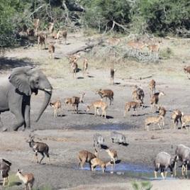 African elephant (Loxodonta africana), nyala (Tragelaphus angasii), and warthog (Phacochoerus africanus) gathering at a waterhole at Tembe Elephant Park, which is a protected area part of the Maputaland Pondoland Albany global biodiversity hotspot. (Credit: Enrico Di Minin)