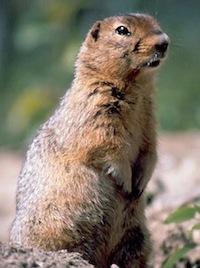 Un spermophile de Richardson, une espèce d'écureuil, produit des stéroïdes anabolisants afin de grossir et de se préparer pour l'hiver. (Photo: Tim Karels)