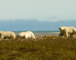 Polar bears, like these photographed near Hudson Bay in 2010, are in jeopardy due to decreasing ice cover in Canada's Arctic Archipelago. (Photo credit: Stephen Hamilton)