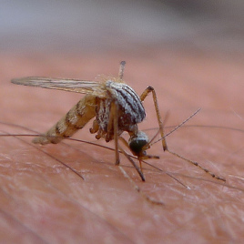Mosquitoes can be carriers of the dengue virus which infect 400 million people annually. (Photo: John Tann, flickr.com)