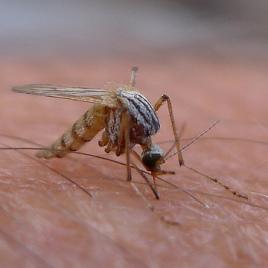 Les moustiques peuvent être porteurs du virus de la dengue qui infecte 400 millions de personnes annuellement. (Photo: John Tann, flickr.com)