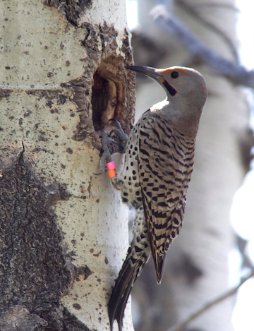 Male northern flicker at the entrance to his cavity in Riske Creek, British Columbia. (Photo credit:  Elizabeth Gow)