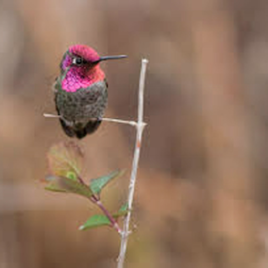 A perched Anna's hummingbird (Calypte anna). (Image courtesy of Benny Goller)
