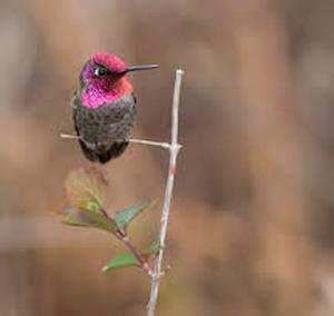 Un colibri perché sur une branche. (Photo : Courtoisie de Benny Goller)