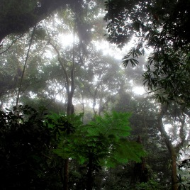 Trees, ferns, lianas, and palms in the mist in a tropical rainforest in Costa Rica. (Photo credit: Peter Groenendijk)