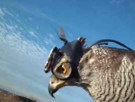 Shinta, the goshawk that participated in the study, is shown here wearing the helmet camera in flight (Photo credit: Robert Musters)