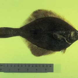 Yellowfin sole currently lives in the northern Pacific, from the Sea of Japan to the Sea of Okhotsk, the Bering Sea and Barkley Sound on the west coast of Canada. It could migrate to the Atlantic ocean in the 100 years according to a new study. (Photo credit: NOAA)