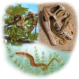 Paleo reconstructions of three Jurassic to Lower Cretaceous snakes: top left, Portugalophis lignites (Upper Jurassic) in a ginko tree, from the coal swamp deposits at Guimarota, Portugal; top right, Diablophis gilmorei (Upper Jurassic), hiding in a ceratosaur skull, from the Morrison Formation, Fruita, Colorado; bottom center, Parviraptor estesi (Upper Jurassic/Lower Cretaceous) swimming in freshwater lake with snails and algae, from the Purbeck Limestone, Swanage, England. (Credit: Julius Csotonyi)
