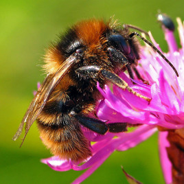 The bumblebee (Bombus terrestris) may be able to create false memories over time in a fashion similar to people. (Image credit: Marko Kivelä, flickr.com)