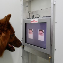This is the experimental set-up used to test whether dogs can discriminate emotional expressions of human faces. (Photo Credit: Anjuli Barber, Messerli Research Institute)
