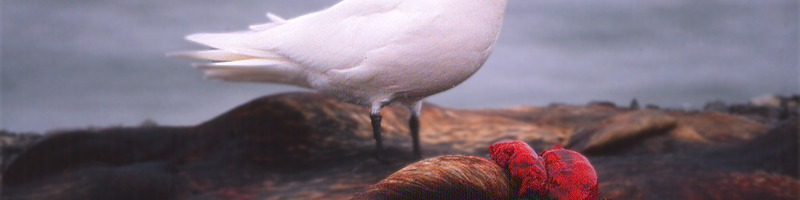 Adult ivory gull feeding on a seal carcass, Resolute Bay, Nunavut, Canada, 10 June 1989. (Photo credit: Keith Hobson)