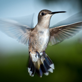 Hummingbirds' short and stubby wings could help scientists improve drones' stability. (Photo credit: Dave Wilson, flickr.com)