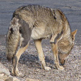 Coyote with mange suffers from hair loss. (Photo credit: SearchNet Media, flickr.com)