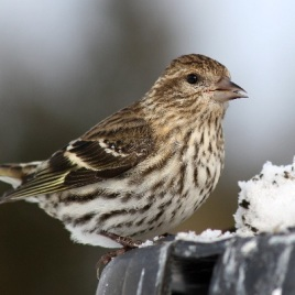 The Pine Siskin is a small finch, weighing less than 20 grams, that can be found across North America. (Photo Credit: Darren Swim, Wikimedia Commons)