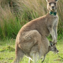 Female kangaroo with an adopted young in her pouch. The light blue eartag in the ear of the young kangaroo  was applied when captured in the pouch of another female. (Photo courtesy of C. Le Gall-Payne)