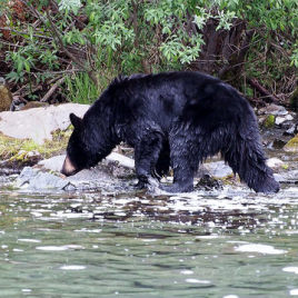 New research shows that female black bears mostly eat berries while males primarily ate ants. The researchers also observed that the diet of females changed depending upon the age of their cubs. (Image Credit: Bryan Wilkins, flickr.com)