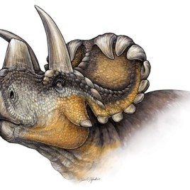 The skull of the Wendiceratops pinhornensis is considered elaborate by the authors given that the species is an early example of horned dinosaur. (Image credit: Danielle Dufault)