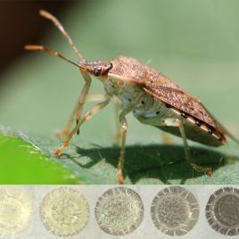 Stink bugs are able to select how light or dark their eggs are when they lay them. The varying shades can be seen along the bottom of the image from the lightest eggs (left) to the darkest (right). (Image credit: Leslie Abram)