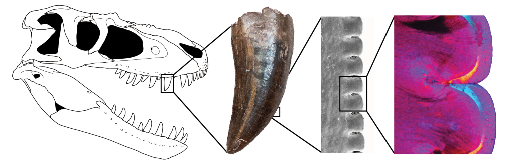 A close-up of a thin section of a tooth from Gorgosaurus, a large theropod from Alberta. (Skull drawing by Danielle Default)